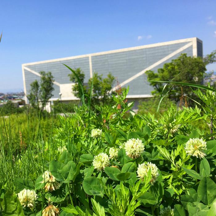 狭山池博物館とシロツメクサ