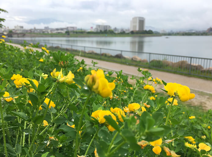 ミヤコグサの花、キレイだポン☆ これから花いっぱい♪楽しみだポーン☆