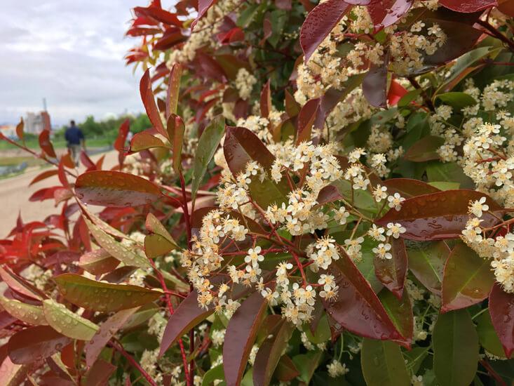 レッドロビンの花 いっぱい咲いてるポン