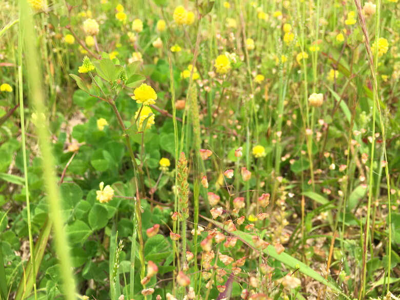 黄色い花☆クスダマツメクサかわいいポン♪