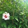 狭山池のムクゲの花