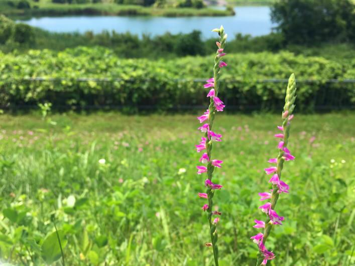 狭山池にネジバナ、いっぱい咲いてるポンよ~☆