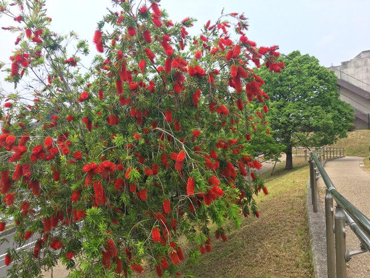 ブラシノキの花いっぱい☆真っ赤だポン☆