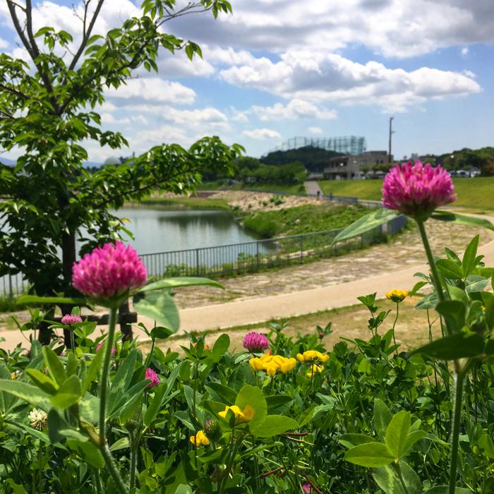 ムラサキツメクサと狭山池の青空