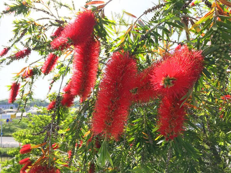 ブラシノキ、真っ赤な花いっぱい☆咲いてるポンよ〜♪