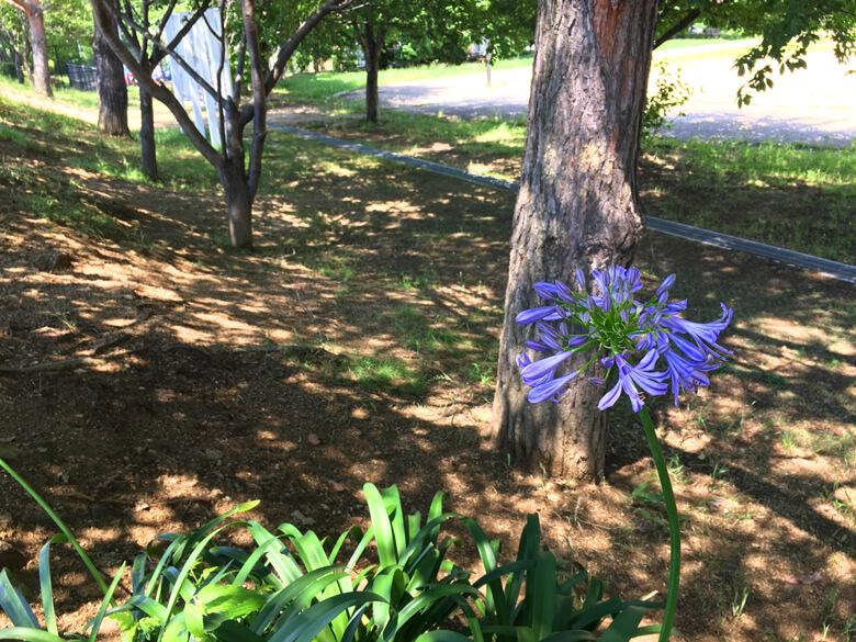 アガパンサスの花みっけだポン☆ キレイに咲いてるポン☆