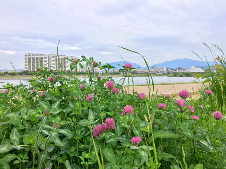 ムラサキツメクサ、いっぱい咲いてるポンよ〜☆