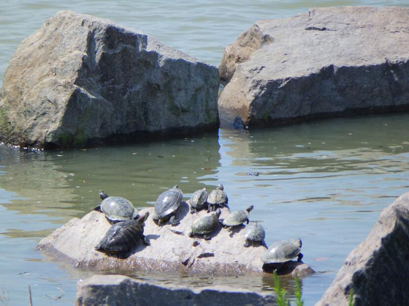 岩の上にカメいっぱい♪仲良く日向ぼっこだポーン☆