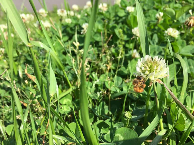 ミツバチ、ブンブン♪ シロツメクサに夢中だポン☆