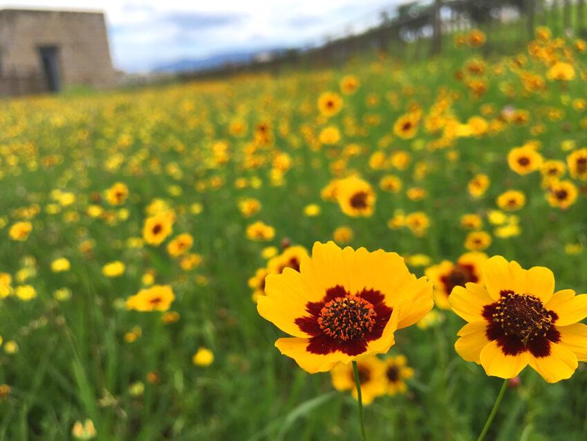 ハルシャギクとミヤコグサの花☆キレイに咲いてるポーン(((o(*゚▽゚*)o)))