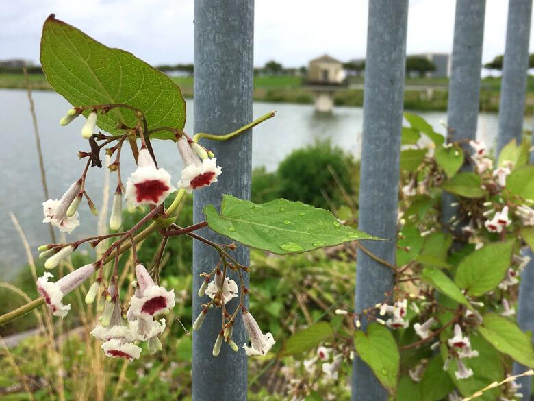 ヘクソカズラの花もいっぱい咲いてるポーン☆
