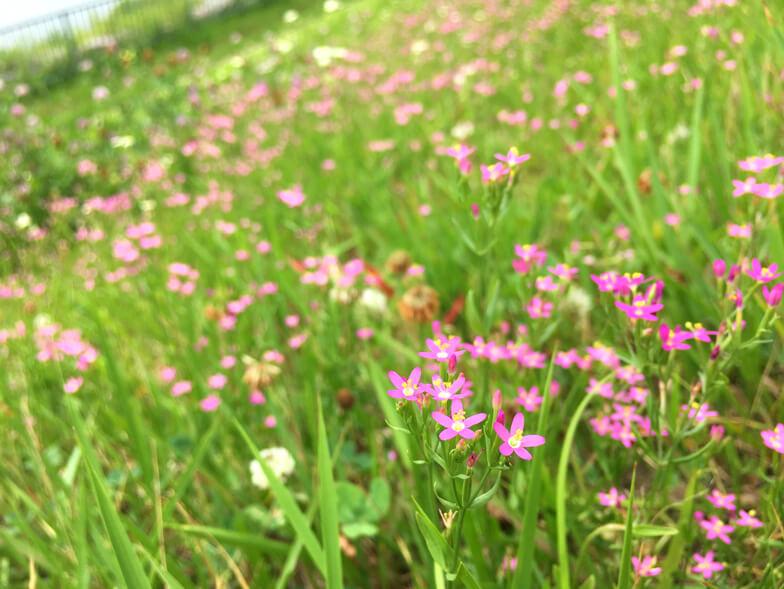 ハナハマセンブリの花かわいいポ~ン☆