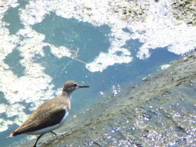 狭山池のイソシギ