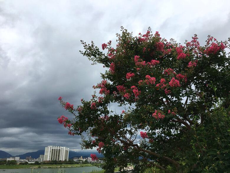 サルスベリの花がポン☆