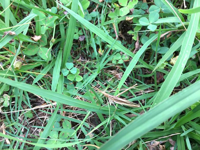 草の中からバッタ見っけだポン♪