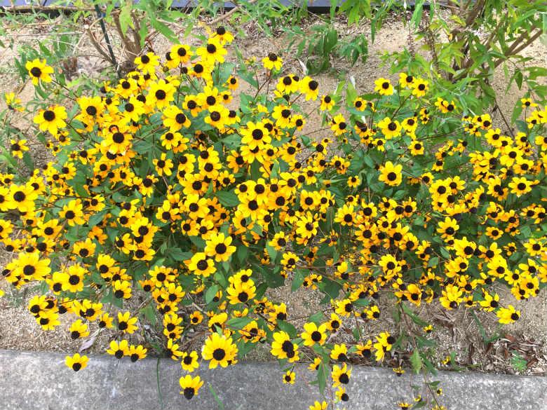 バタフライガーデンに黄色い花☆いっぱい咲いてるポンよ〜♪