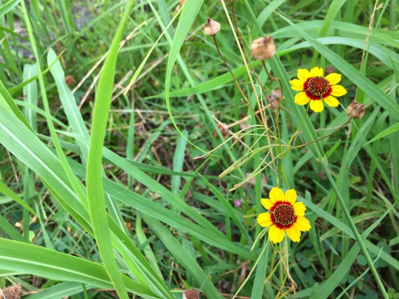 ハルシャギクの花ちっちゃいポンよ☆ かわいいポーン