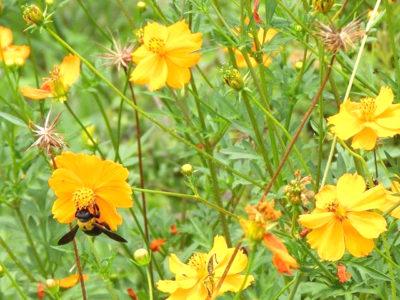 キバナコスモスにクマバチ
