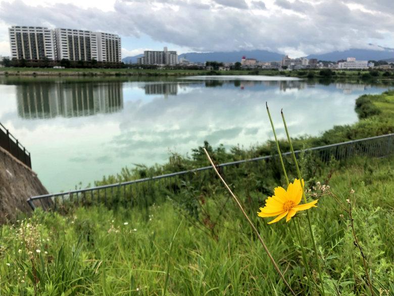 オオキンケイギクの花☆キレイに咲いてるポーン♪