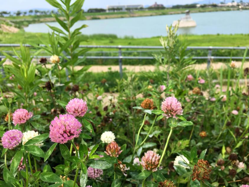 ムラサキツメクサの赤と白の花♪ 咲いてるポーン(((o(*゚▽゚*)o)))