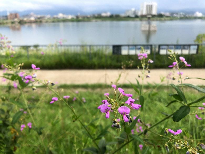 アレチヌスビトハギの花咲いてるポーン♪