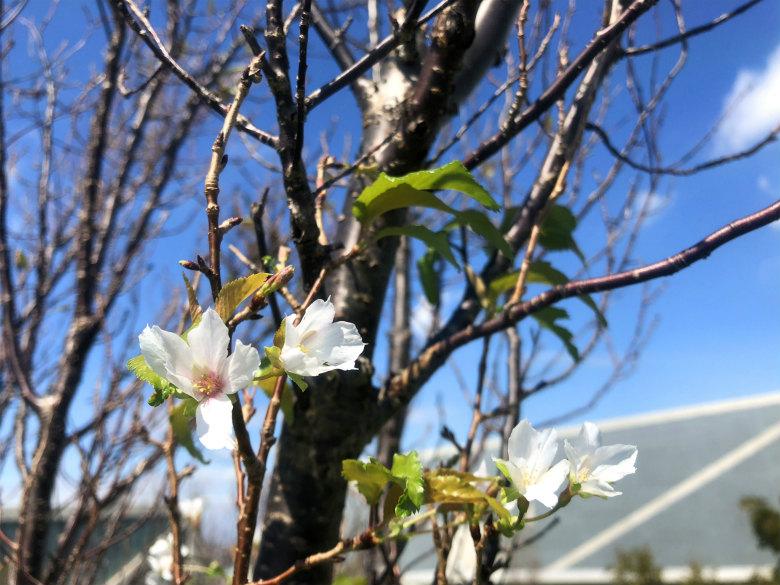 また桜の花見っけだポーン♪