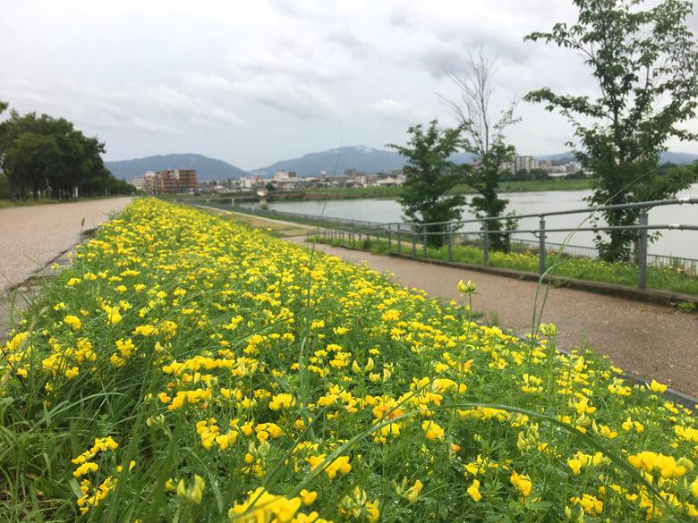 ミヤコグサいっぱい咲いてるポンよ(*゚▽゚*)
