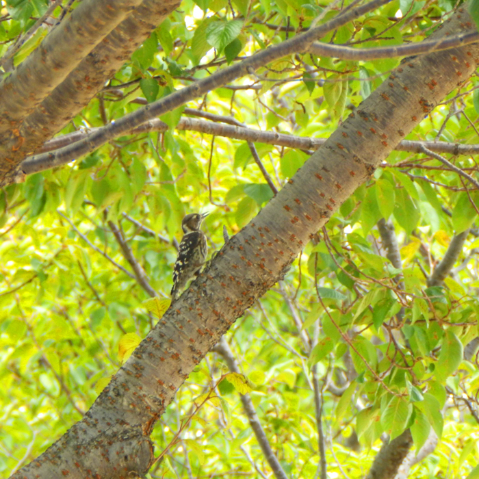 桜の木にコゲラ見っけだポン