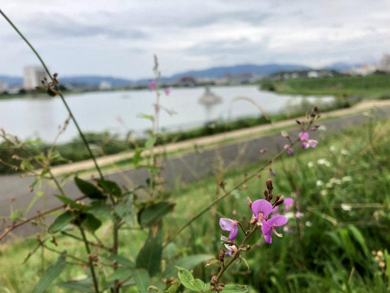 アレチヌスビトハギの花がポン☆