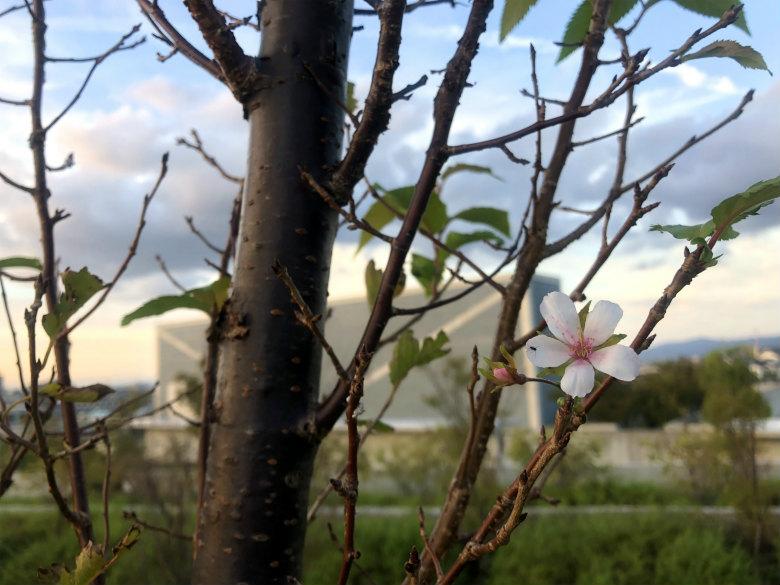 桜の花キレイだポン☆
