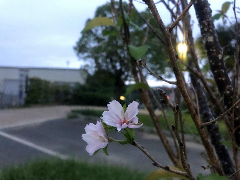 桜がポンポン☆