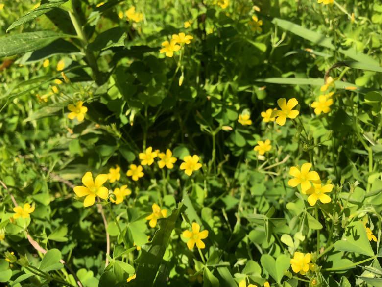 ベンチの下、カタバミの花がポンポンポーン☆