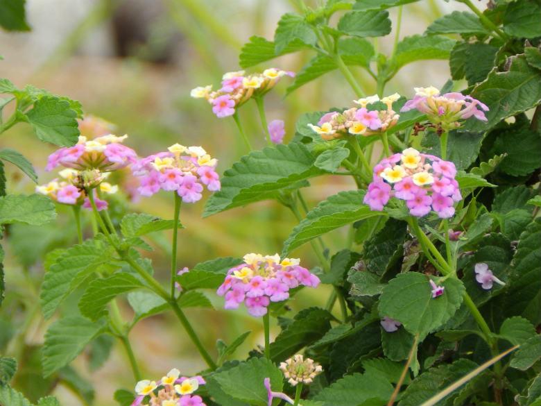 ランタナの花みっけ♪かわいいポ~ン☆