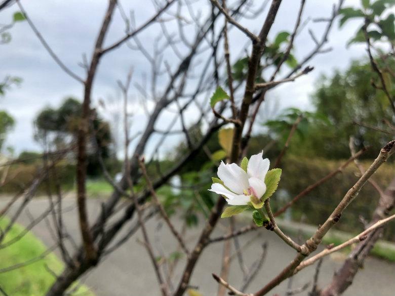 桜の花見っけ♪かわいいポン☆
