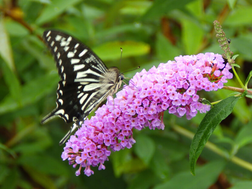 バタフライガーデンにチョウがいっぱい☆花の蜜すってるポーン♪