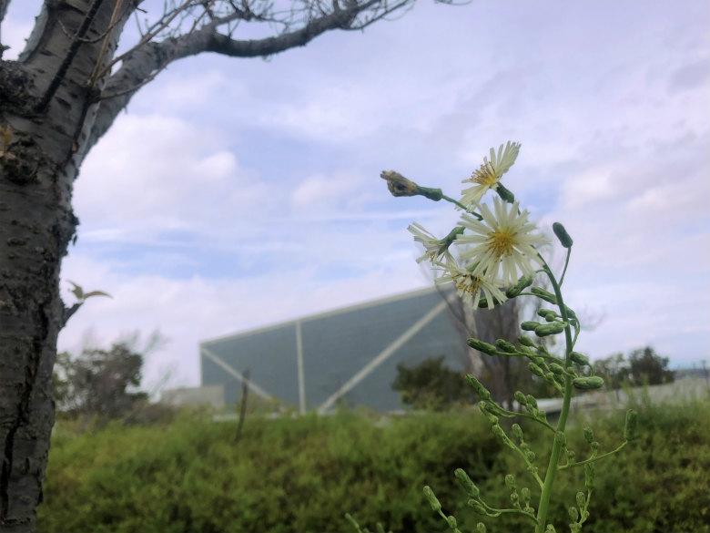 アキノノゲシ♪キレイに咲いてるポーン☆