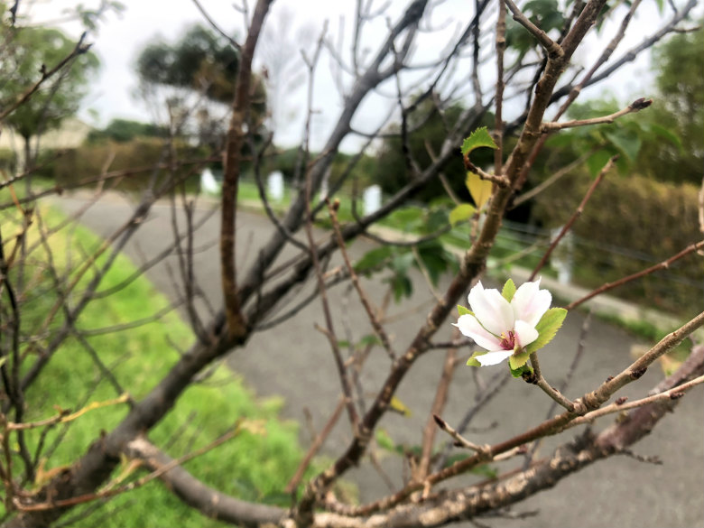 桜キレイに咲いてるポ~ン☆