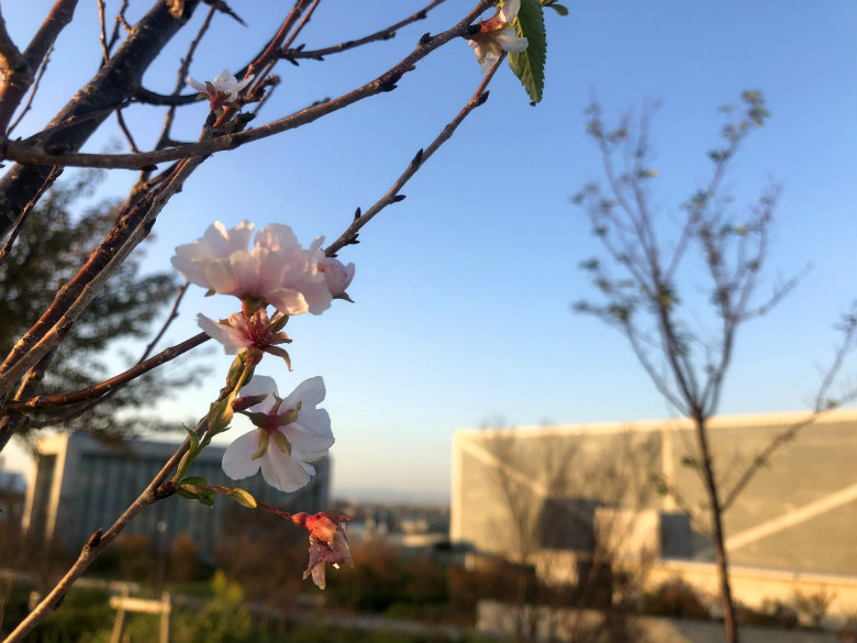 桜キレイだポンよ~☆