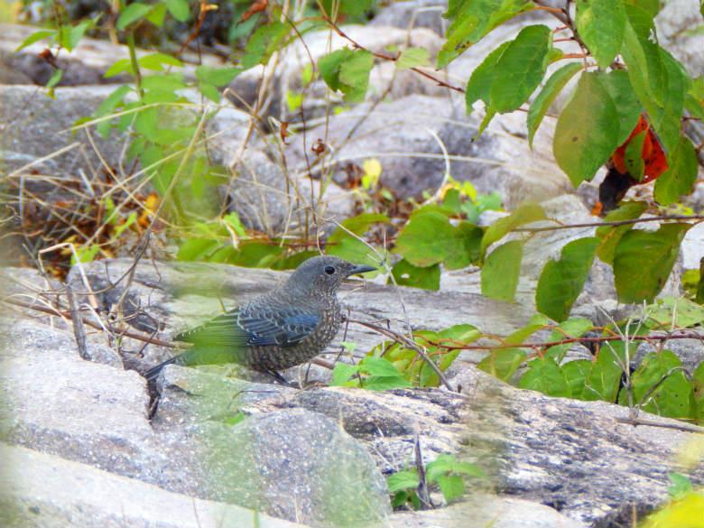 イソヒヨドリの幼鳥