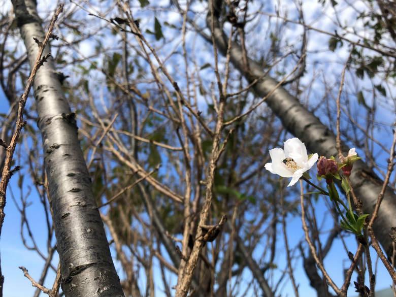 ハチと桜がポンポン☆