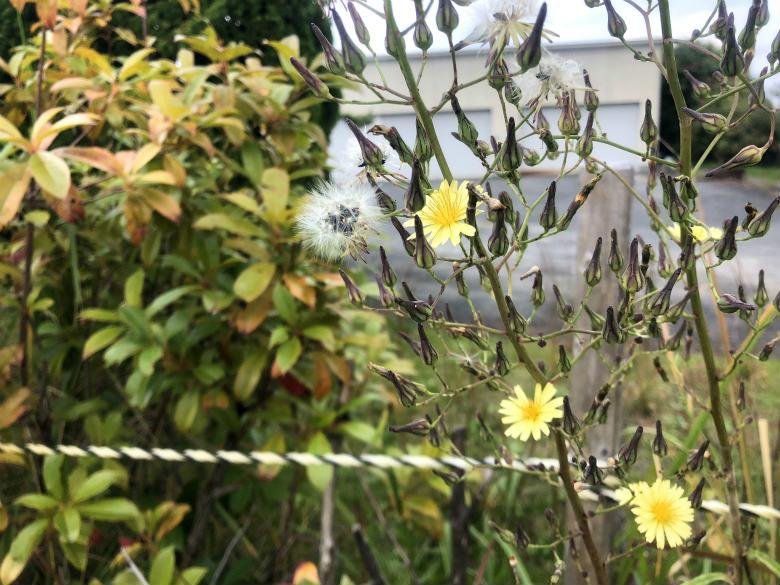 アキノノゲシの花かわいいポン☆