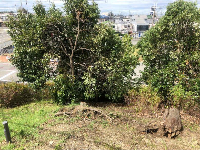 台風で、ミモザの木なくなったポン☆