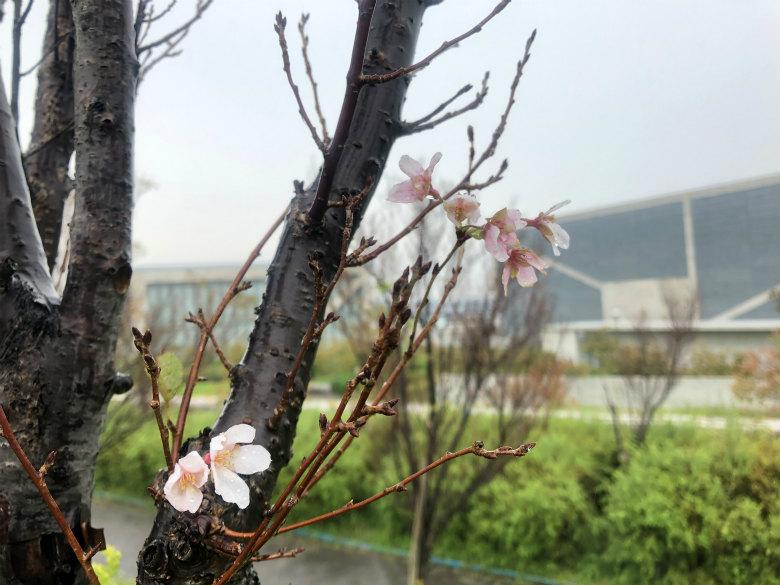 雨と桜がポン☆