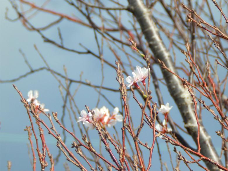 桜みっけ♪キレイだポンよ~☆