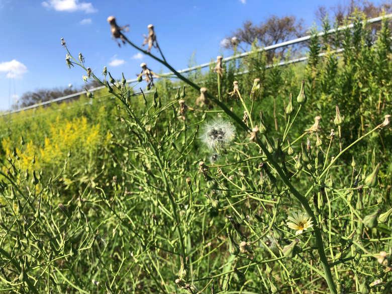 アキノノゲシの花と種がポンポン☆