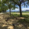 緑の木かげでハトとポン【2017年8月13日(日曜日)の狭山池】