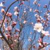 桜の花、咲きはじめてるポン【2018年3月13日(火曜日)の狭山池】