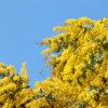 黄色いミモザの花がポン【2018年3月14日(水曜日)の狭山池】