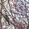 桜の蕾とツグミがポン【2018年3月20日(火曜日)の狭山池】