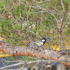 松の木にシジュウカラがポン【2018年2月28日(水曜日)の狭山池】